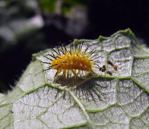 bug insect beetle kansascity kansas larva tonganoxie easternkansas squashbeetle epilachnaborealis