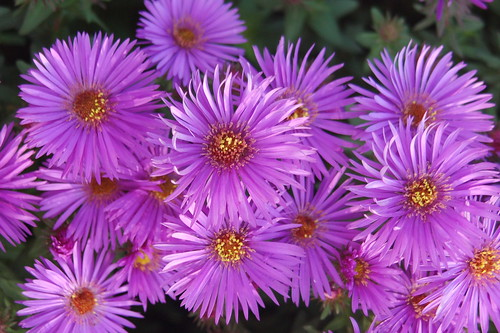 Woods Purple Dwarf Aster | by wht_wolf9653