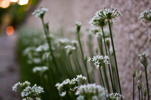 Chives | by KeriFlur