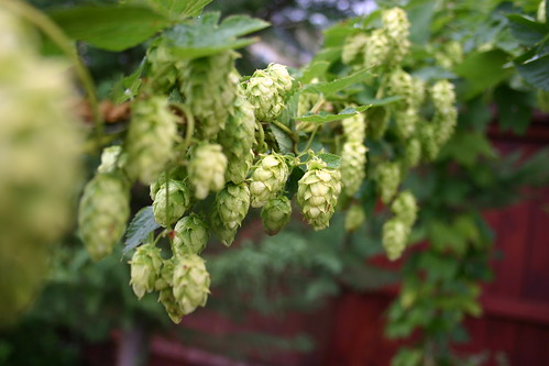 Cascade Hops before the Harvest | by SoulSoap