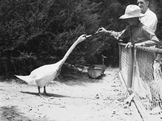 Far West boy feeds a swan, Taronga Park Zoo, Sydney, 2nd January, 1935 / by Ted Hood