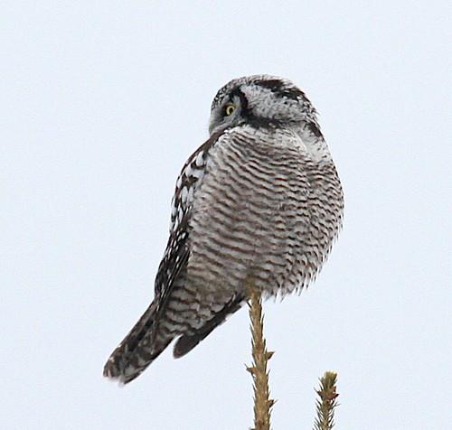 birds farm country raptor owl raptors owls rarity rarebirds rarebird iphotoflaggediphotooriginalbird winterbirdiphotoflaggediphotooriginal