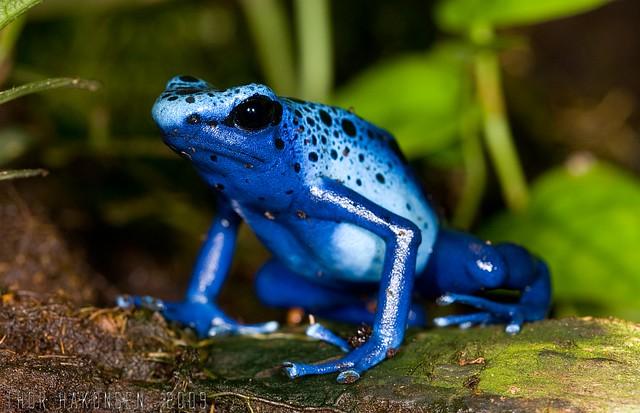 Dendrobates tinctorius azureus - Blue Poison Dart Frog