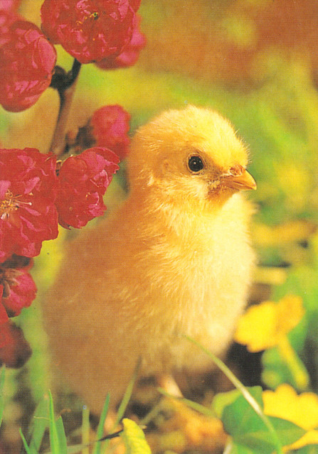 Easter Chick Postcard