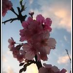 Taiwan cherry- 山櫻花