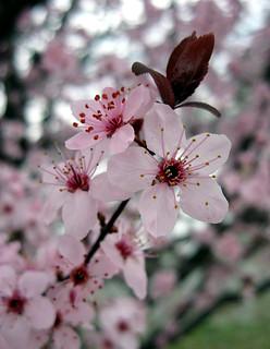 Prunus (species?), Ornamental plum?, Roanoke, Virginia