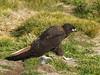 Striated Caracara - West Point Island, Falkland Islands by flash62_au