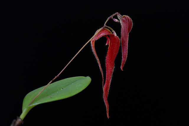 Lepanthes chameleon