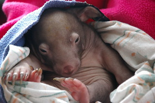 Meet Winifred - an 8 week old wombat | by Percita