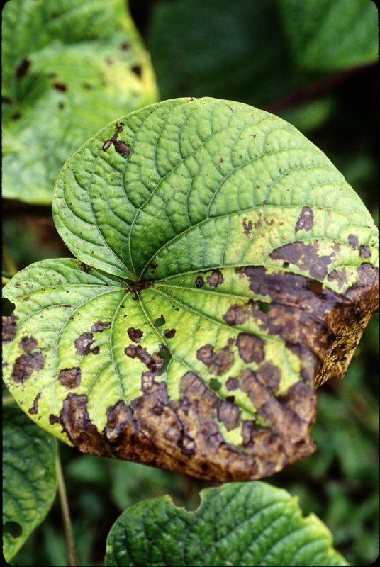 "Awa: Fungal Leafspot -- leaf blight ""Anthracnose"" | Flickr"