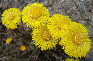 Coltsfoot | by sebilden