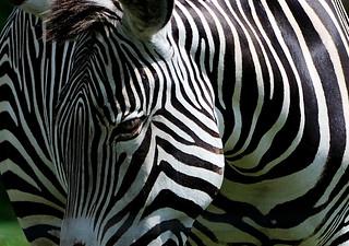 It's Black on White (Grevy's Zebra)