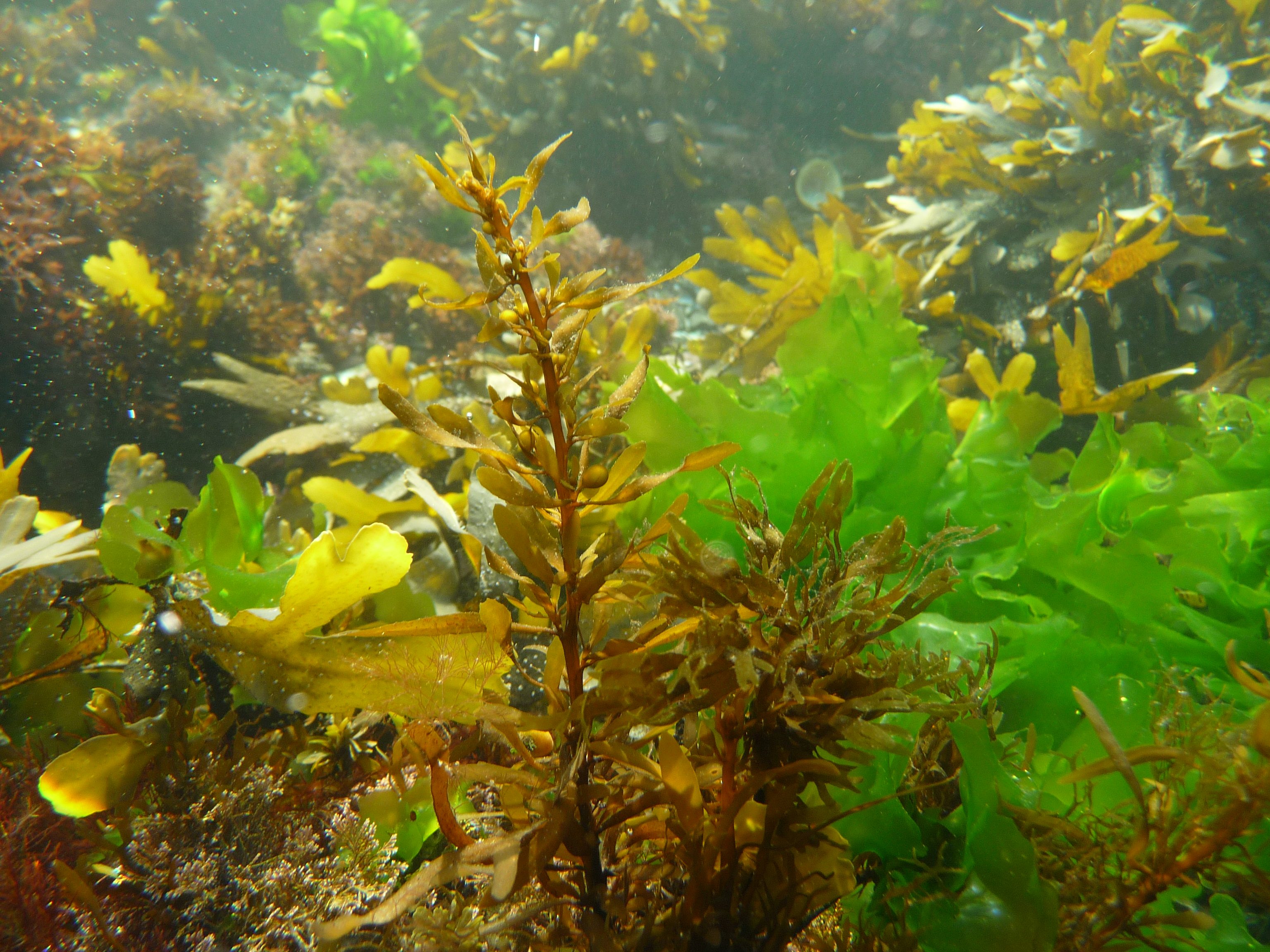 evil sargassum