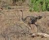 Ostrich (Somali) by Glen Tepke