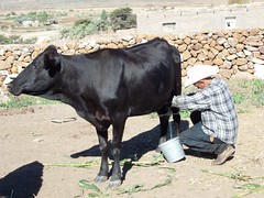 Milking the cow - ordeñando la vaca; Ameca, Zacatecas, Mexico