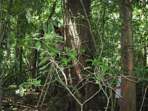Tue, 07/29/2008 - 12:09 - Measuring tree diameter. Credit: CTFS