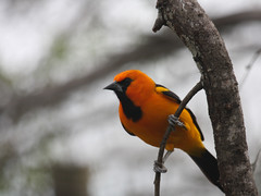 Altamira Oriole | by Birding In New Jersey