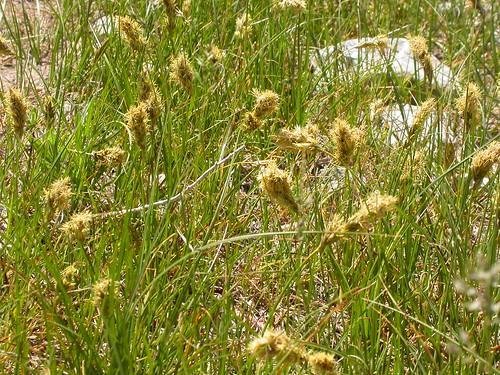 Carex douglasii | by Matt Lavin