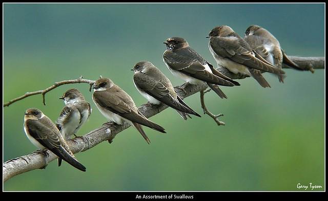 An Assortment of Swallows