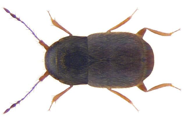 Smicrus filicornis  (Fairmaire & Laboulbene, 1855)