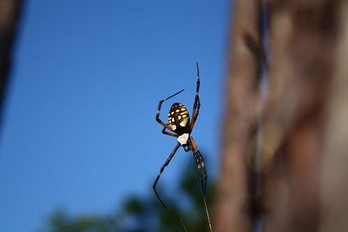 fauna flora spiders easternnorthcarolina argiopeaurantia undisclosedlocation yellowgardenspider pinesavanna