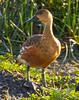 Wandering Whistling Duck (Dendrocygna arcuata).01 by Geoff Whalan