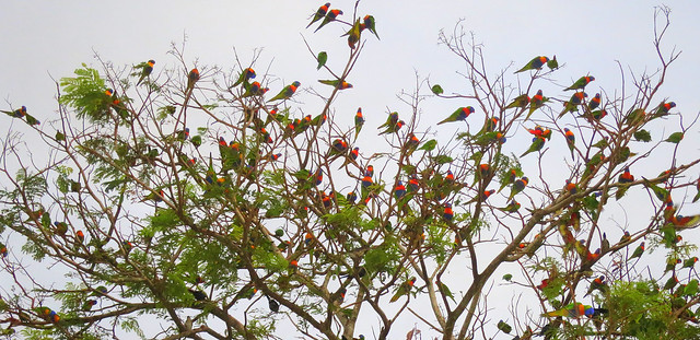 Rainbow Lorikeet in Cairns - 1