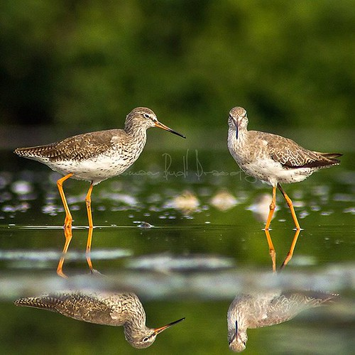 Common Redshank ( Tringa totanus )  #migration #shorebirds #wader #bird #birds #birdwatching #birdwatchers #birding #birdingphotography #birdphotography #photography #wildlife #wildphotography #wonorejo #surabaya #east_java #indonesia | by -Prast-