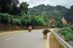 Motorcycle & Buffalo Traffic, Lai Châu Vietnam