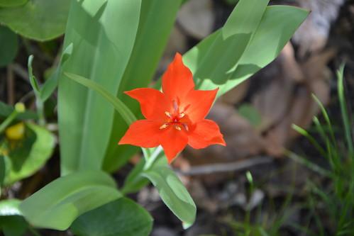 Tulipa - espèces et petits hybrides (sections 12 à 15) - Page 2 32617906941_6020aa1092