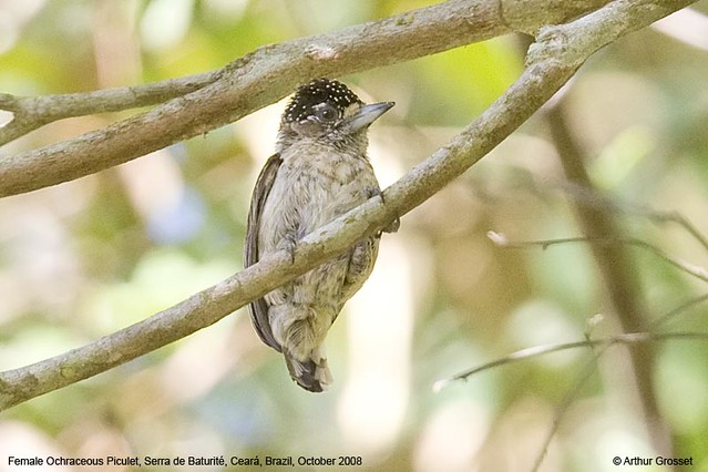Picumnus limae - Ochraceous Piculet