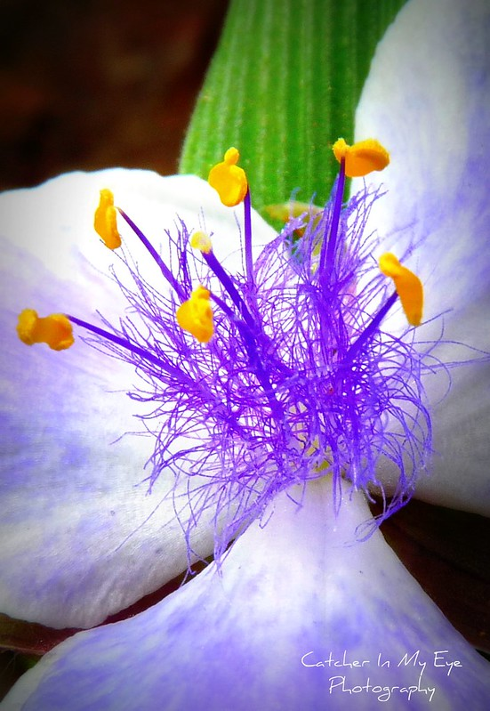 A Closer Look at Spiderwort