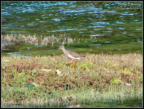 Greater Yellowlegs (Tringa melanoleuca) | by Crappy Wildlife Photography