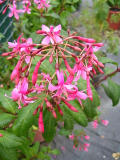 Fuchsia arborescens | by anniesannuals