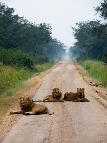 Male Lions Blocking the Road 1 | by Chris E Moore