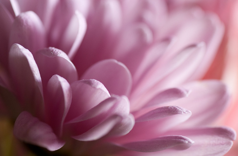 Pétalos rosas / Pink petals