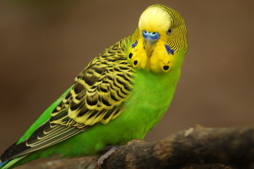 Parakeet | by The Suss-Man (Mike)