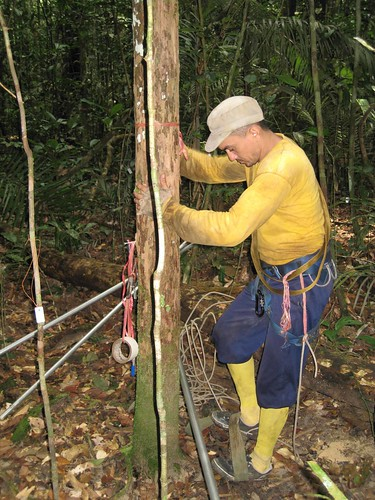 Thu, 07/31/2008 - 08:19 - Mateiro Lucas preparing to climb a tree to collect material; July 2008. Credit: Kyle Harms.