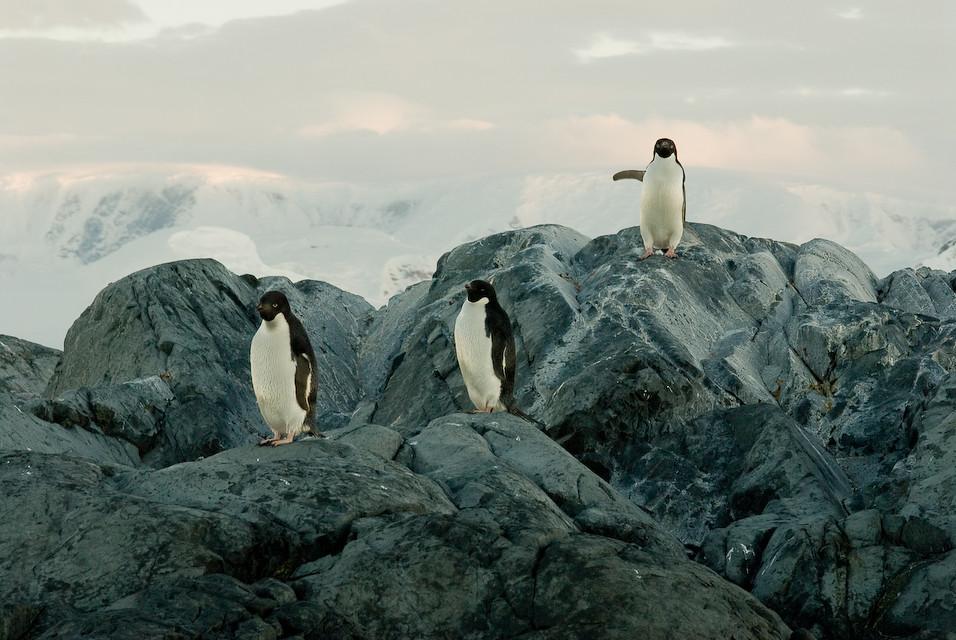 Three Penguinos
