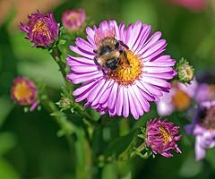 A bees purple Nectar   by antaean