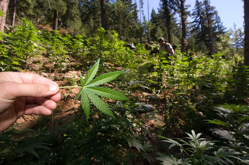 Ranger on marijuana grows eradication duty | by North Cascades National Park