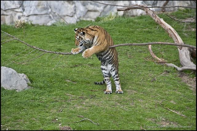 Tigre de Bengala (Panthera tigris tigris) @ Temaiken - Escobar - Argentina
