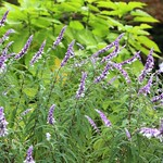 Mexican Bush / Salvia leucantha / サルビア・レウカンサ