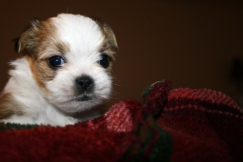 new dog chihuahua yorkie puppy born mix shih tzu shihtzu terrier views shit bones 100 shitzu shi zu yorshire minic shorkie yihuahua