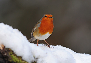 Robin (Erithacus rubecula) in the Snow, Bilham Wood, South Yorkshire | by Steve Greaves