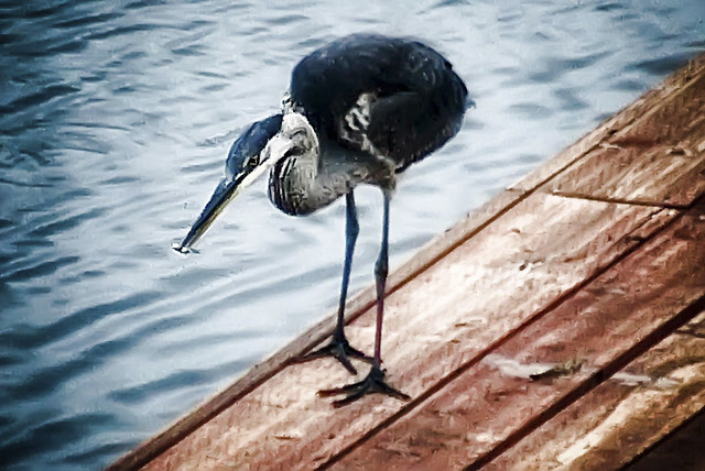 blue heron fishing for the smallfry