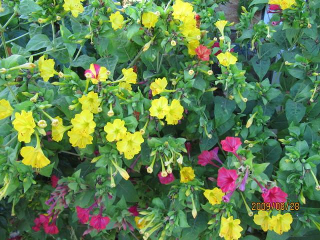 Image result for four o'clock flowers