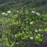 梔子  Gardenia jaasminoides