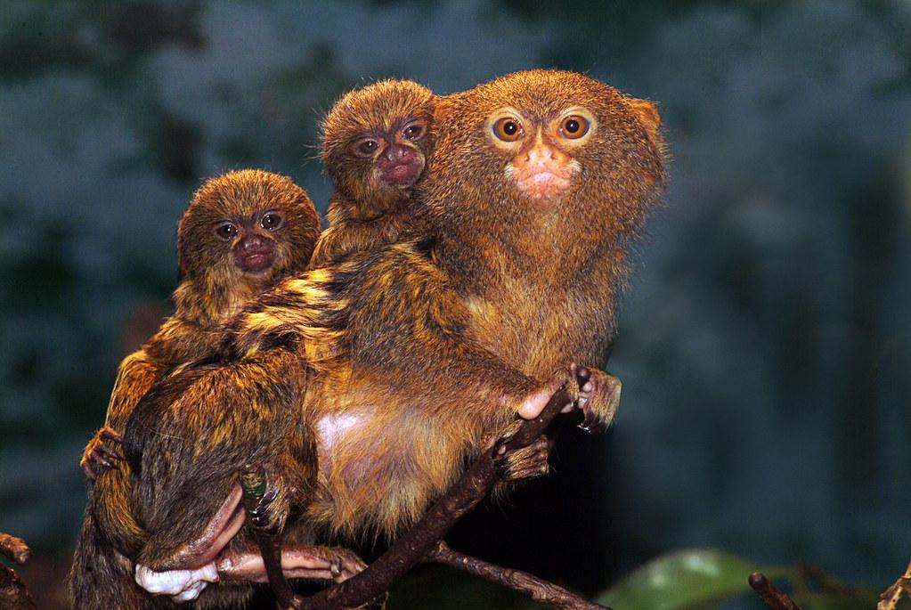 Pygmy Marmoset, Callithrix pygmaea with babies | Bo Jonsson | Flickr