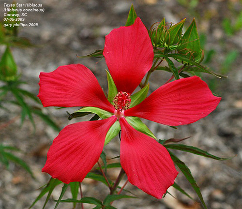 Texas Star Hibiscus Hibiscus Coccineus A Perennial Nati Flickr